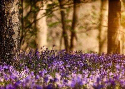SprocknRoll Evening Bluebells_MG_1952_750